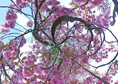 Kirschblüte-Oberwinter